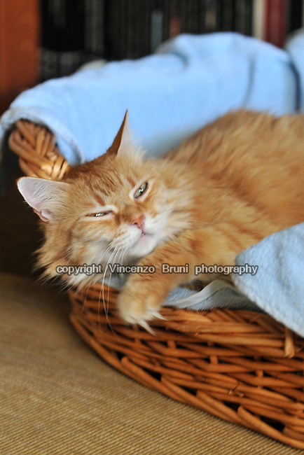 A long haired red tabby cat laying in a basket on a light blue towel.