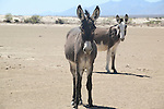 TWO BURROS on the DESERT.<br /> <br /> A mule is the offspring of a male donkey and a female horse. Horses and donkeys are different species, with different numbers of chromosomes.<br />  <br /> The donkey, sometimes called  asses, is a domesticated member of the Equidae or horse family. The wild ancestor of the donkey is the African wild ass, <br /> E.africanus. The donkey has been used as a working animal for at least 5000 years. There are more than 40 million donkeys in the world, mostly in underdeveloped countries, where they are used principally as draught or pack animals. Small numbers of donkeys are kept for breeding or as pets in developed countries<br /> (3)