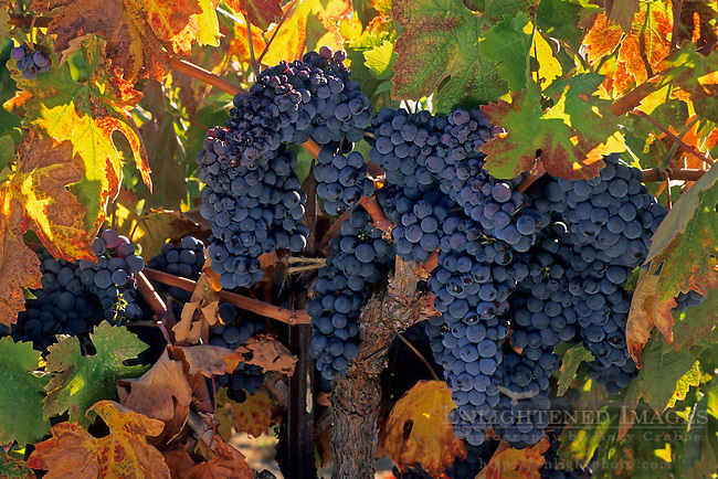 Grapes on vine in fall, Villa Toscana Winery, near Plymouth, Shenandoah Valley, Amador County, California