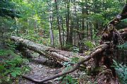 Uprooted yellow birch across the Mt Tecumseh Trail in Waterville Valley of New Hampshire that is in the process of being cut with an axe in 2011. Axe cut can be seen on the upper left hand side of the downed tree.