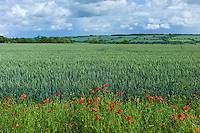 Set-aside margin of wildflowers for wildlife habitat by wheat field in The Cotswolds, Oxfordshire, UK