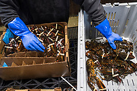 Ron Lancey, 38, repackages a box of live lobsters at Island Seafood's packing facility in Eliot, Maine, USA, on Wed., Jan. 31, 2018. The lobsters are flown to customers around the world.