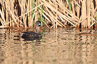 Pied-billed Grebe (Podilymbus podiceps podiceps), adult in breeding plumage swimming in Railroad Lake, Cornerstone Park, Henderson, Nevada.