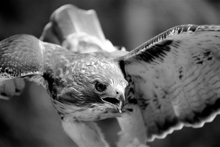 A red tailed hawk is flying directly into the camera. Black and white photograph