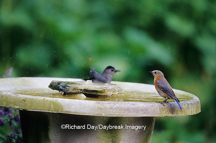 01377-15809 Eastern Bluebird (Sialia sialis) female & Gray Catbird (Dumetella carolinensis) at bird bath in flower garden, Marion Co. IL