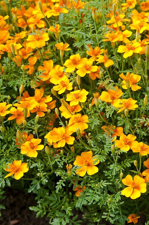 Signet marigold Tagetes tenuifolia 'Tangerine Gem', late July.