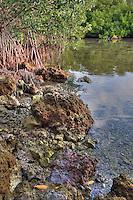 Red Mangroves, Florida Keys National Marine Sanctuary, Key Largo, Florida