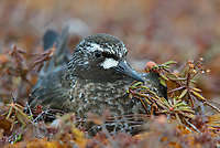Black Turnstone (Arenaria melanocephala) incubating eggs. Yukon Delta National Wildlife Refuge, Alaska. June.