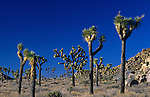 Joshua Tree National Park  grove of Joshua trees sunny day blue sky  Southwestern California USA