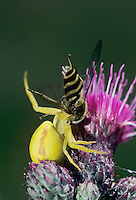 Crab Spider, Misumena vatia, adult with hoverfly (Syrphidae) as prey, Oberaegeri, Switzerland, July 1996