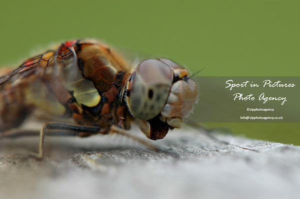 A Common Darter Dragonfly on a fence eating an insect