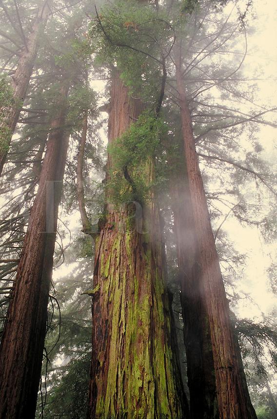 REDWOOD FOREST, MOUNT MADONNA COUNTY PARK. COUNTY OF SANTA CLARA mist, size, big, tall, ancient, age. WATSONVILLE CALIFORNIA USA SANTA CLARA COUNTY.