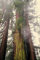 REDWOOD FOREST, MOUNT MADONNA COUNTY PARK. COUNTY OF SANTA CLARA mist, size, big, tall, ancient, age. WATSONVILLE CALIFORNIA USA SANTA CLARA COUNTY.