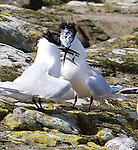 Farne Island Birds. UK