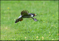 BNPS.co.uk (01202 558833)<br /> Pic: PhilYeomans/BNPS<br /> <br /> Peter prepares to take flight once again...<br /> <br /> On a wing and a prayer...Salisbury Cathedral's Peregrine falcon takes to the skies once more after being illegally shot down.<br /> <br /> 'Peter' the peregrine has been nursed back to health after miraculously recovering from being illegally shot.<br /> <br /> Peter was one of the first peregrine chicks to be hatched on the tower at historic Salisbury Cathedral, Wilts, for more than six decades.<br /> <br /> But the two-year-old bird was found gravely injured by 18-year-old Shannon Hamshare 12 miles away on farmland near Stockbridge, Hants, in March this year.<br /> <br /> He was taken to the nearby Hawk Conservancy Trust where X-rays showed the protected bird of prey had a stable fracture wing that was consistent with a gunshot wound. <br /> <br /> Peter was nursed back to health and released in meadow.