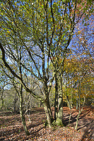Ancient pollarded Pedunculate or English Oak, Quercus robur, Stoke Wood, Oxfordshire.