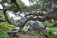 Quercus agrifolia, Coast live oak tree with twisting branches over boulder and patio, California native plant, Santa Barbara Botanic Garden