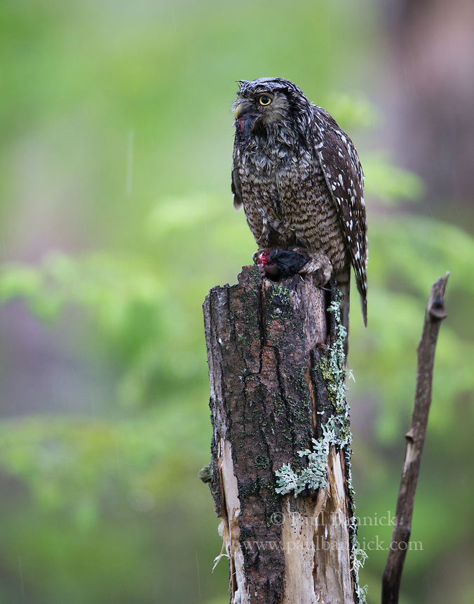 A Northern Hawk Owl prepares to deliver prey to fledlings on a rainy day.