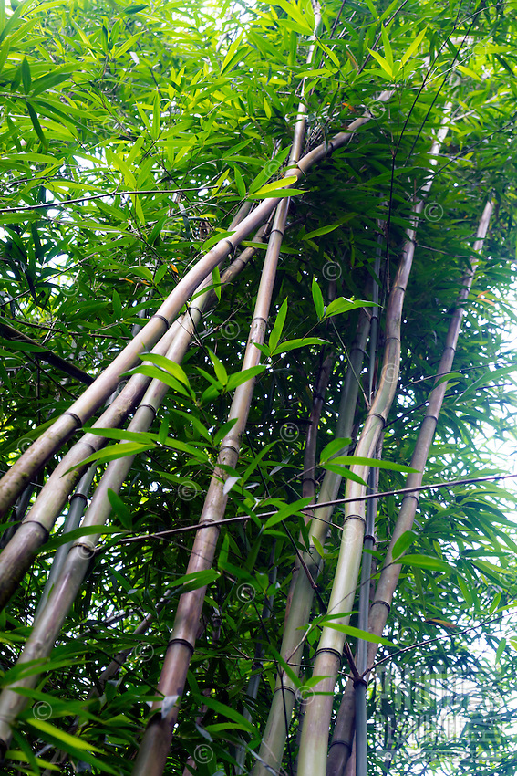 Looking up at tall bamboo trees in the Kohala Forest Reserve, Hawai'i Island.