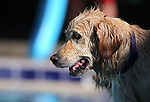 Sunny enjoys the 9th annual Pooch Plunge at the Carson City Aquatics Center in Carson City, Nev., on Saturday, Sept. 23, 2017. The event is a fundraiser for Carson Animal Services Initiative which supports the Nevada Humane Society in Carson City. <br /> Photo by Cathleen Allison/Nevada Photo Source