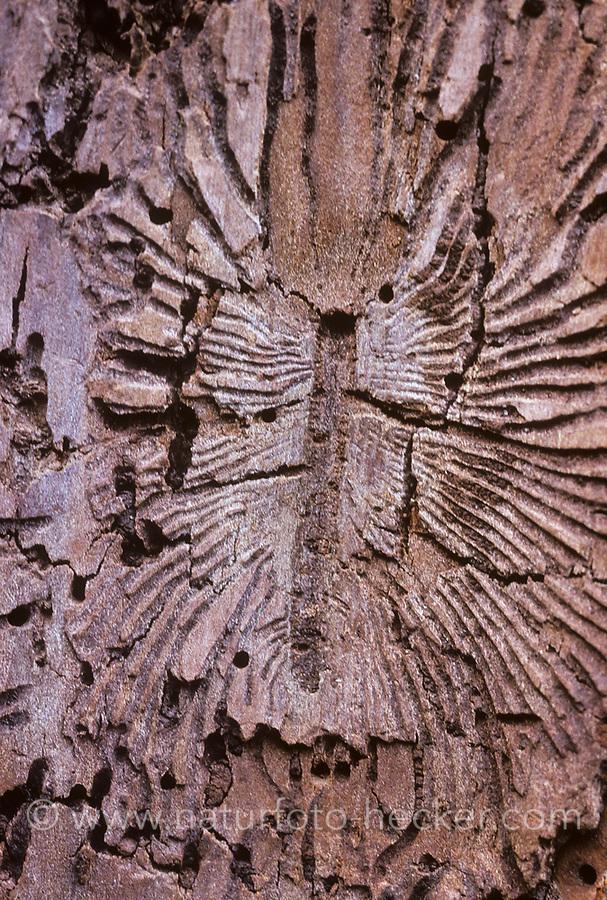 Großer Ulmensplintkäfer, Grosser Ulmen-Splintkäfer, Fraßbild, Scolytus scolytus, larger European elm bark beetle, large elm bark beetle, Borkenkäfer, Scolytinae