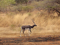 Black buck roaming in Sasan gir forest