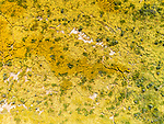 Colorful golden wildflowers cover the Carrizo Plain National Monument from a drone between the soda lakes in the valley floor, spring.