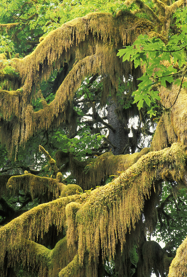 Clubmoss hanging from Big Leaf Maple branch, Hall of Mosses Trail, Hoh River, Olympic National Park, Washington