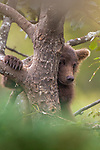Brown bear cub climbing a cottonwood tree, Katmai National Park, Alaska, USA