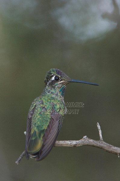 Magnificent Hummingbird, Eugenes fulgens, young male perched, Paradise, Chiricahua Mountains, Arizona, USA, August 2005