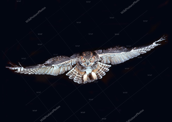 Great Horned Owl, Bubo virginianus, head-on flight (Ohio)