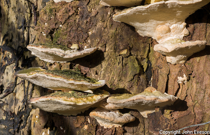 Blood-stained Bracket fungus (Daedaleopsis  confragosa), Dinkling Green, Whitewell, Clitheroe, Lancashire.
