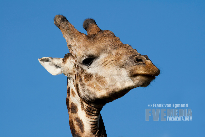 Giraffe (Giraffa Camelopardalis)..April 2009, fall..Tala Game Reserve, Kwazulu-Natal, South Africa.