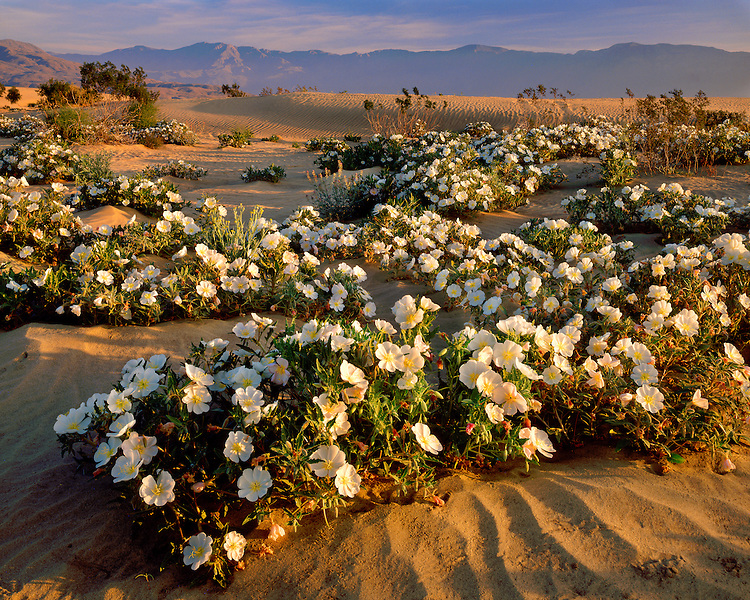 Morning light on a field of Evening Primrose (Oenothera sp.); Anza Borrego Desert State Park, CA