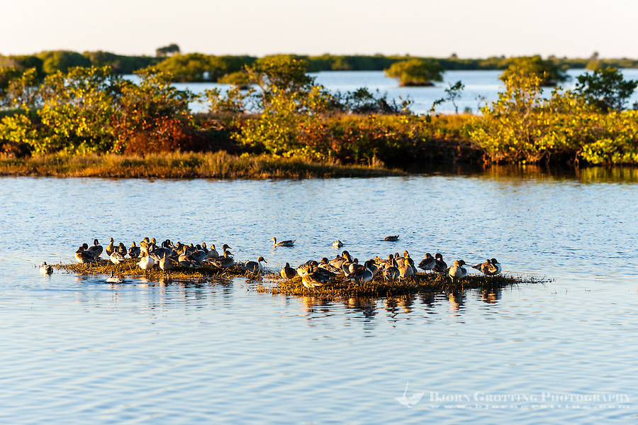 US, Florida, Merritt Island National Wildlife Refuge, Black Point Wildlife Drive. Northern Pintail ducks.