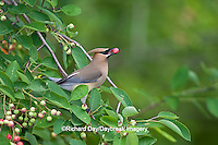 01415-02503 Cedar Waxwing (Bombycilla cedrorum) in Serviceberry Bush (Amelanchier canadensis) eating berry, Marion Co., IL