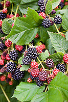Blackberries growing on a bush in Gloucestershire, England, United Kingdom