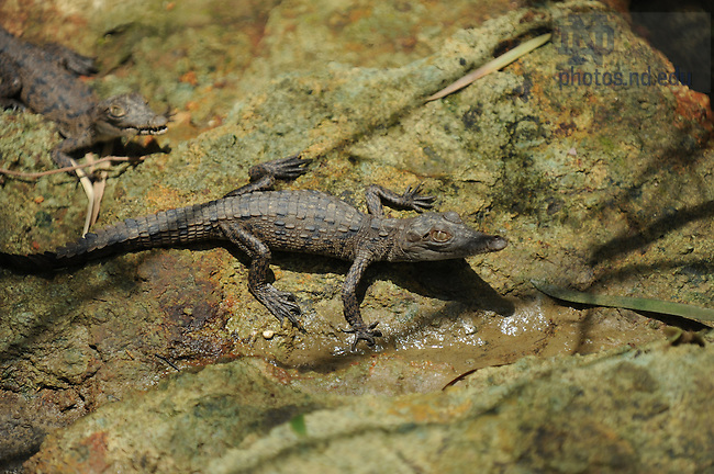 Crocodile on an island in the Panama Canal..Photo by Matt Cashore/University of Notre Dame