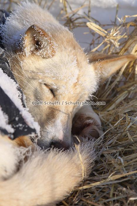 Friday March 9, 2012  A Justin Savidis dog sleeps at the half-way checkpoint at Cripple.   Iditarod 2012.