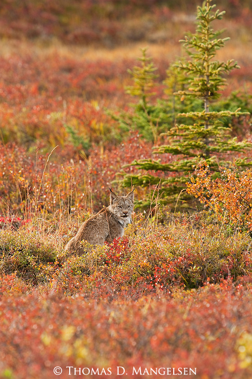 Portrait of a lynx among fall color tundra in Denali National Park, Alaska.