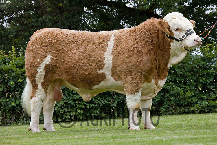 Pedigree Simmental Bull