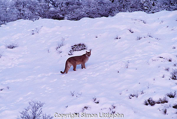 Totally wild Patagonian Puma walking in winter landscape.Torres del Paine National Park,Chile