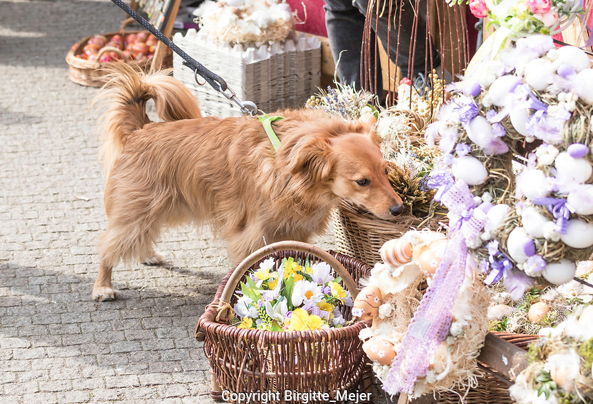 A small Dog at an Easter Market in Namesti Miru in Prague, The Czech Republic, Europe, sniffing all the Easter decorations