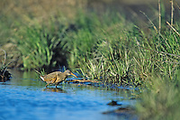 Clapper Rail, in a salt marsh.  Fortesque, New Jersey