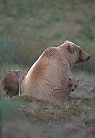 Grizzly Bear and cubs, Denali National Park, Alaska
