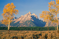 Aspens in Snake River Valley<br />
