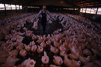 A worker gathers chickens from a coop for shipment to a processing plant. Once an ancient sea, its uplifted floor untouched by scouring glaciers that stopped to the north.  Eons of erosion carved deep valleys into the Ozarks crusty limestone plateau, transforming its flat surface into the unlikely role of hills.  They march nearly level into the distance, and peak at 2,600 feet in Arkansas's Boston Mountains...  Ozarks region in Missouri and Arkansas by Randy Olson for National Geographic Magazine.
