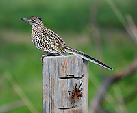 COURTESY PHOTO TERRY STANFILL<br /> BEEP BEEP<br /> A roadrunner roosts on a post at Swepco Lake near Gentry. Terry Stanfill of the Decatur area took the photo on Sunday.