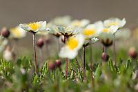 Mountain aven blossoms, Brooks range mountains, Arctic National Wildlife Refuge, Alaska