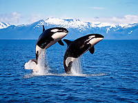 killer whale or orca, Orcinus orca, pair, breaching, British Columbia, Canada, Pacific Ocean, digital composite